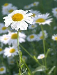 Daisy (Resized)